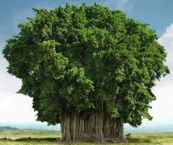arbre gegant